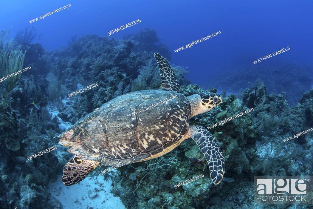Stock Photo: Hawksbill Sea Turle, Eretmochelys imbricata, Turneffe Atoll, Caribbean, Belize.