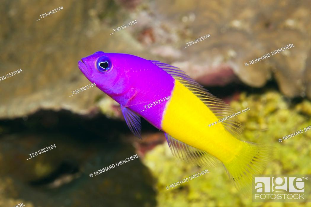Stock Photo: Two-colour Dottyback, Pseudochromis paccagnellae, Kimbe Bay, New Britain, Papua New Guinea.
