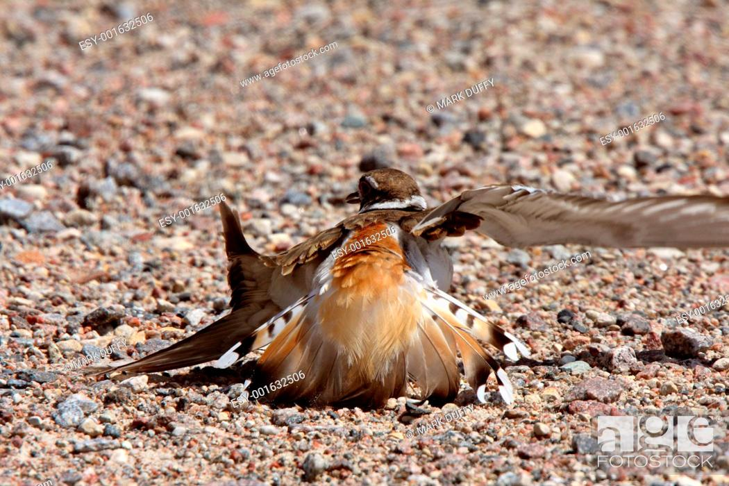 Stock Photo: Killdeer doing its broken wing act.