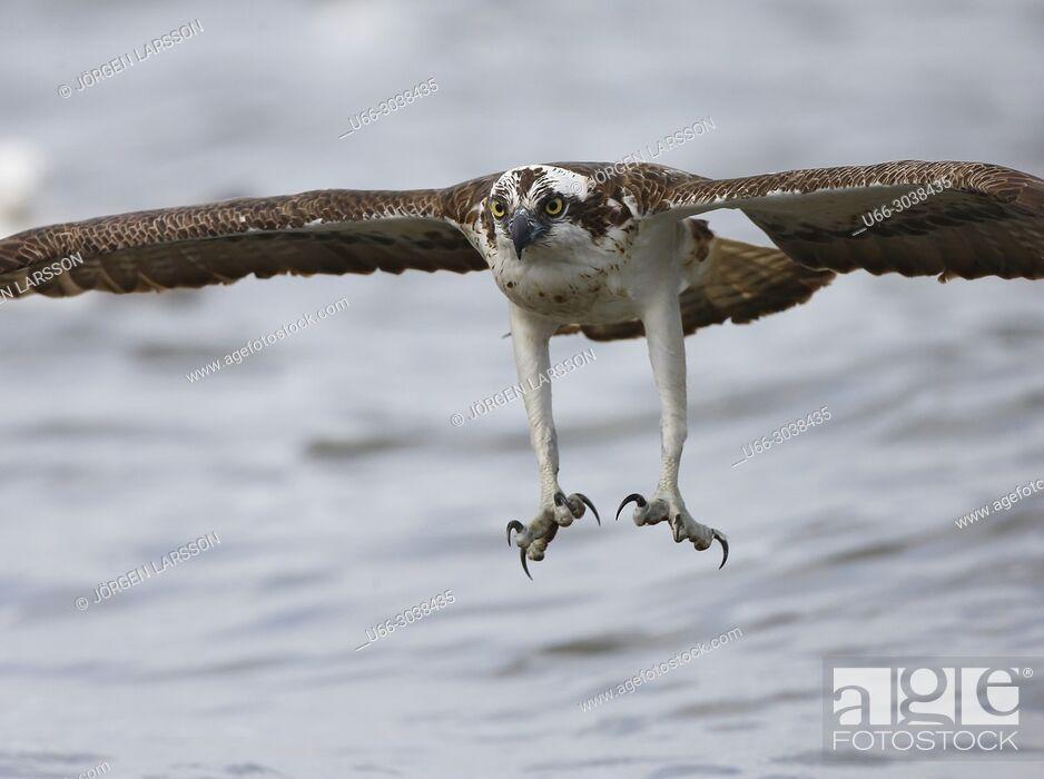 Imagen: Osprey fishing. Lake Malaren, Sodermanland, Sweden.