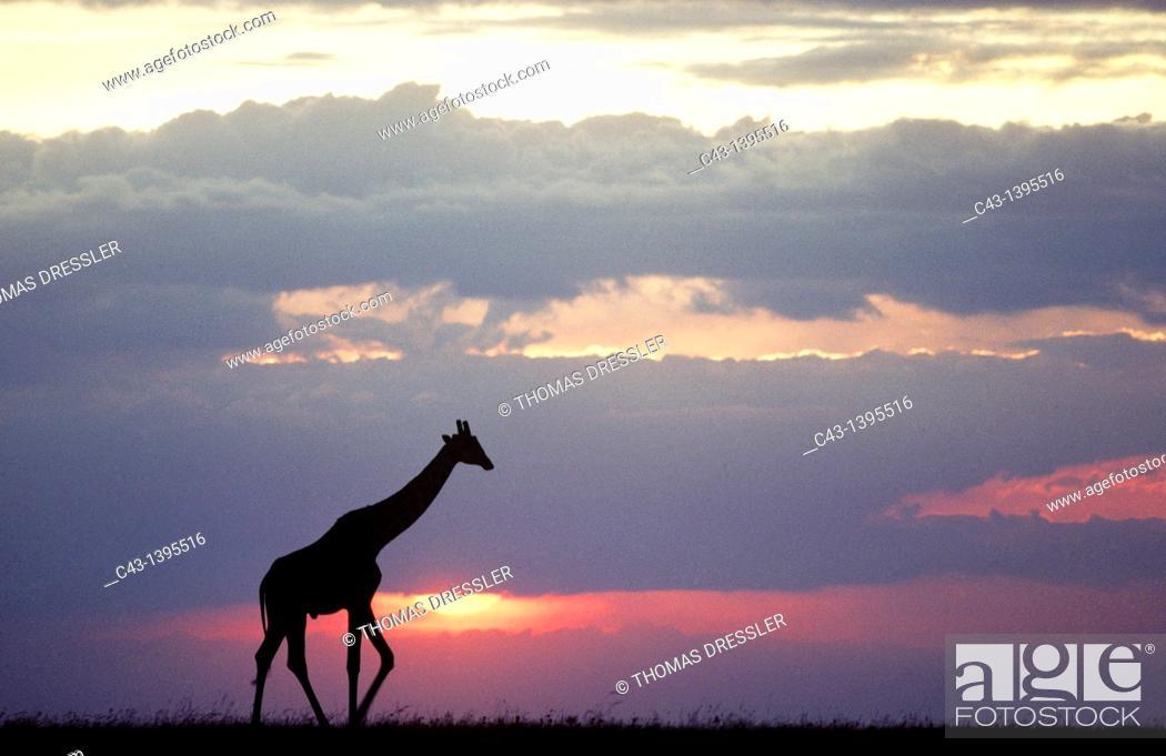 Stock Photo: Masai Giraffe Giraffa camelopardalis tippelskirchi - At sunset  Masai Mara National Reserve, Kenya.