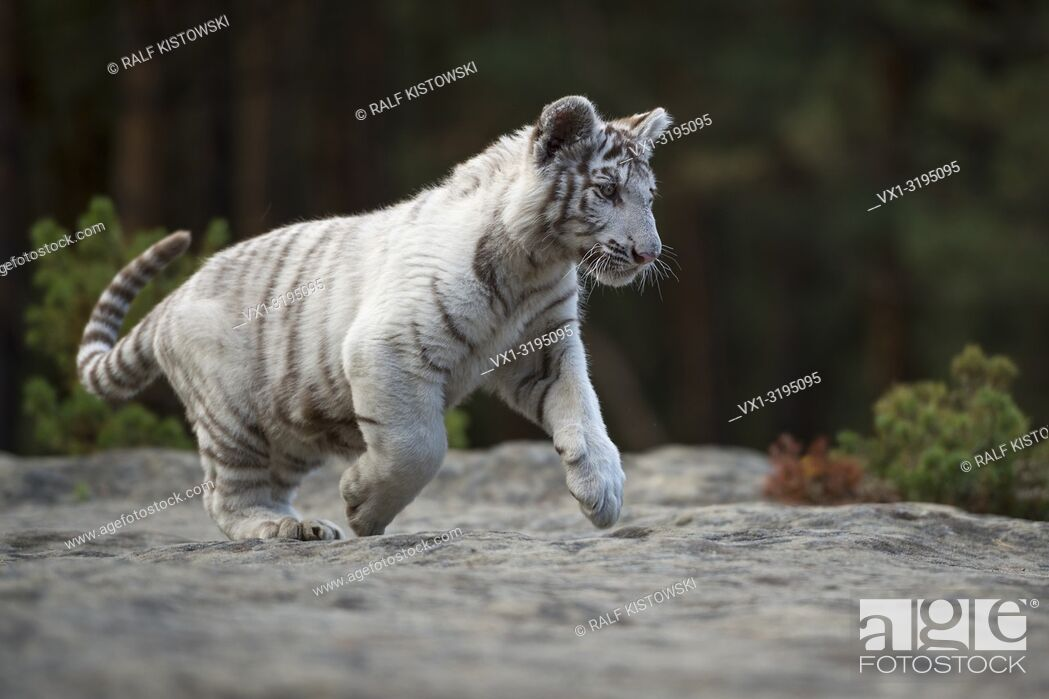 Stock Photo: Bengal Tiger (Panthera tigris), white, young animal, adolescent, running, jumping over some rocks along the edge of a forest, full of joy, joyful.