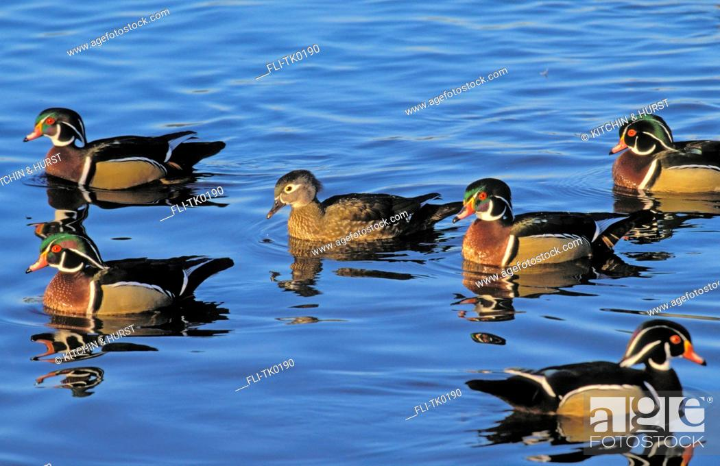 Stock Photo: tk0190, Thomas Kitchin, Wood Duck drakes and hen. Early spring breeding season. Burnaby Lake, British Columbia, Canada. Aix sponsa.