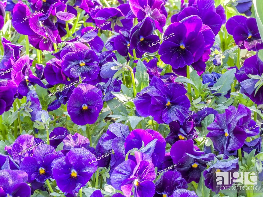 Stock Photo: Pansy / Viola x wittrockiana 'Unicolor Purple'.