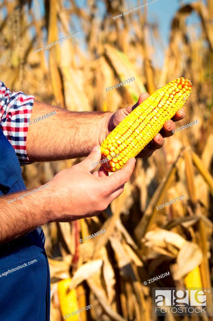 Stock Photo: Farmer at corn harvest.