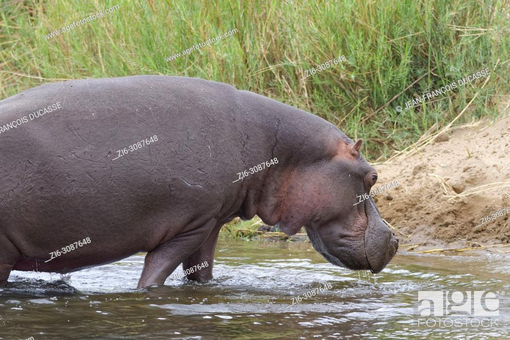 Stock Photo: Hippopotamus (Hippopotamus amphibius) going out of the water of the Olifants River, Kruger National Park, South Africa, Africa.