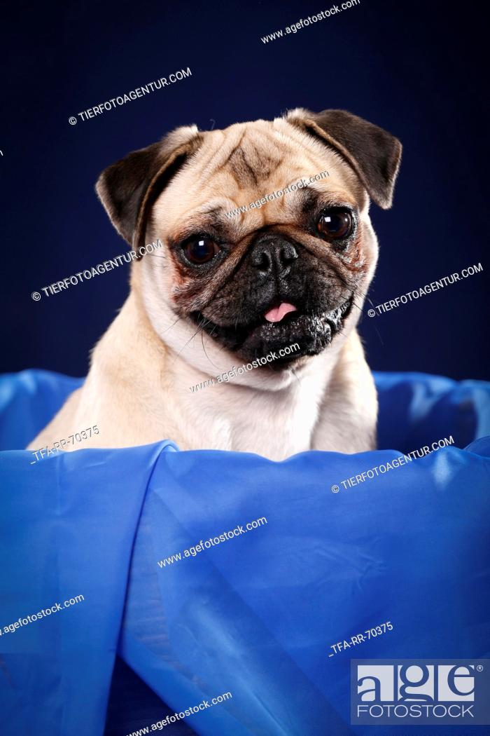 Stock Photo: pug portrait.
