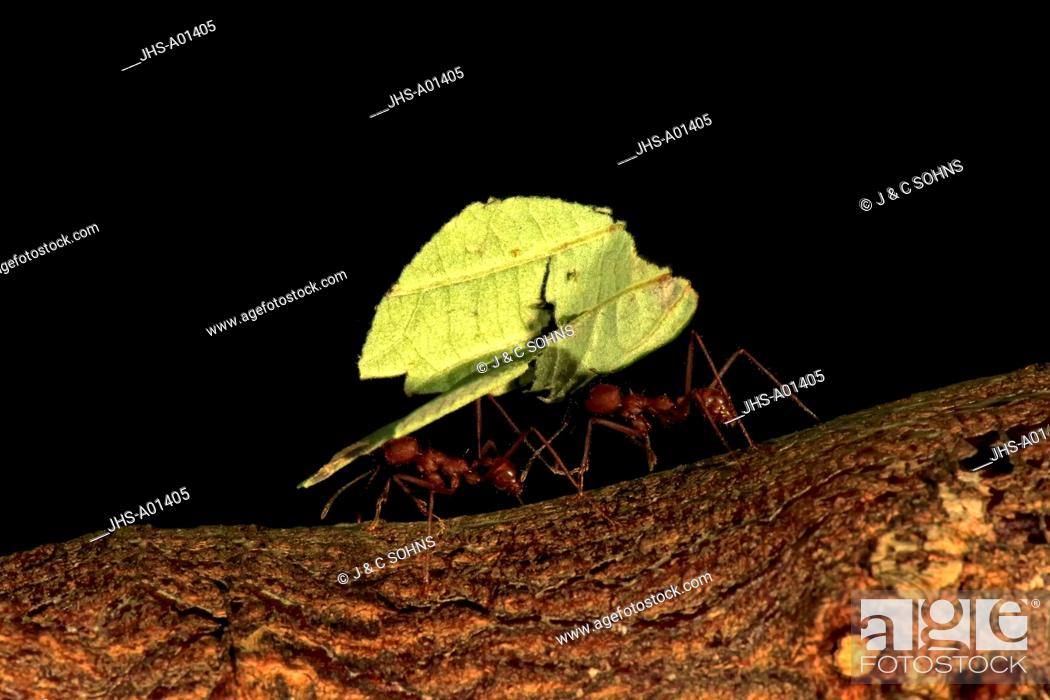 Stock Photo: Leafcutter ant, (Atta sexdens), carries leaf, transportation of cutted leaf, South America, Central America.