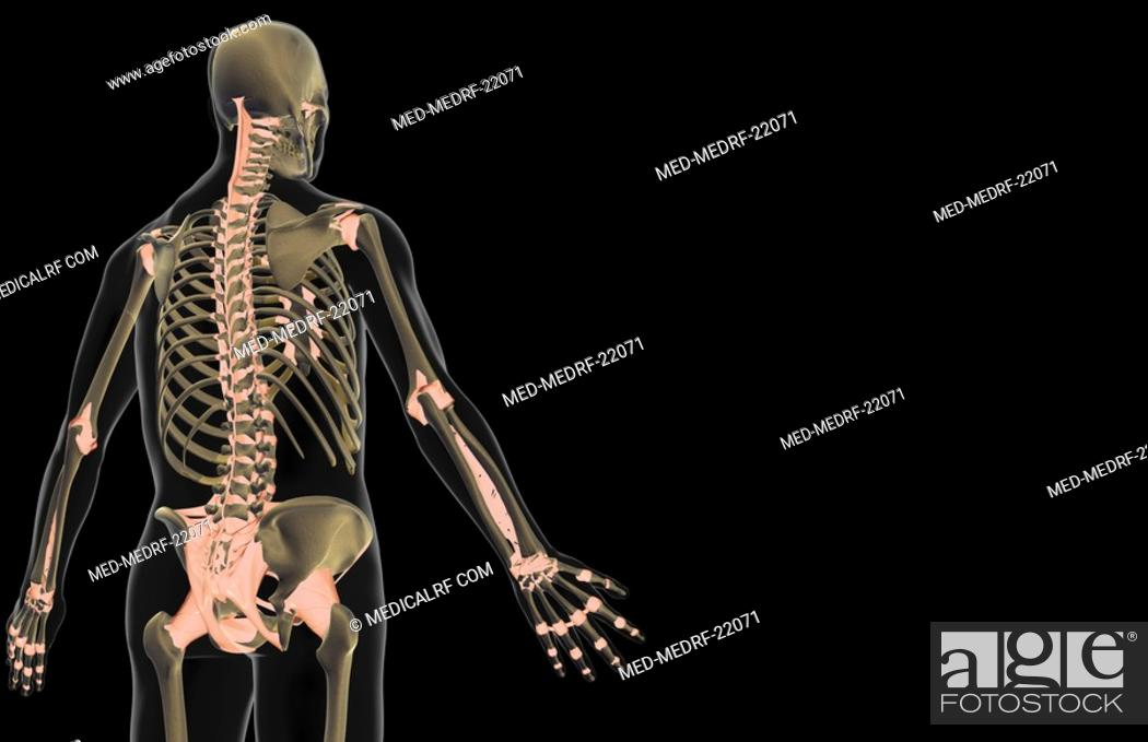 Stock Photo: The ligaments of the upper body.