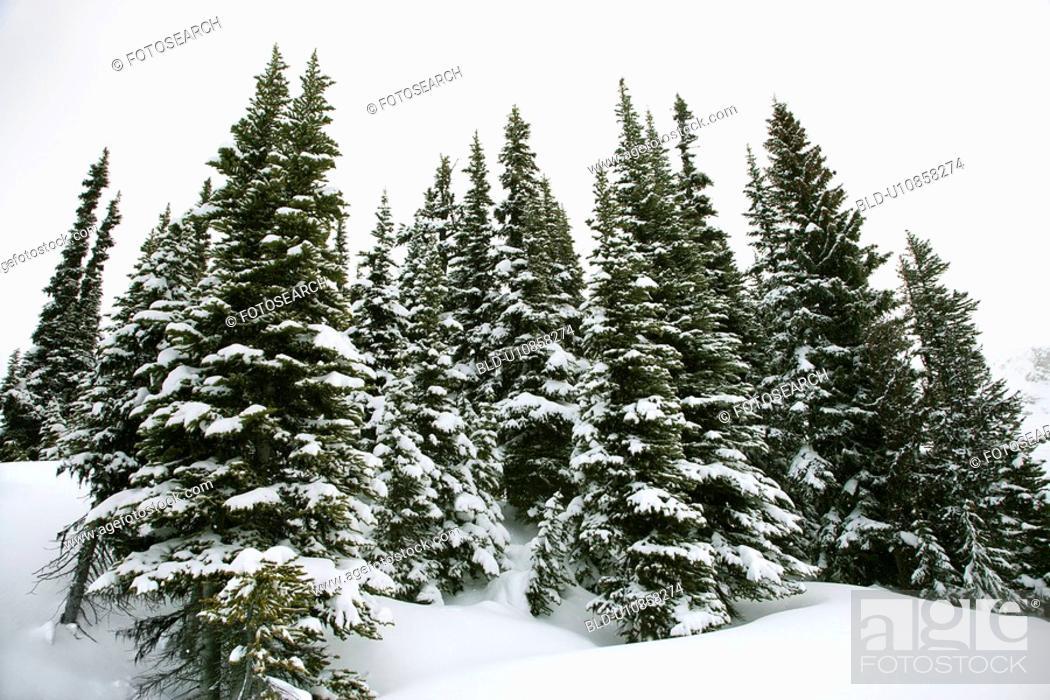 Stock Photo: Snow-covered pine trees.