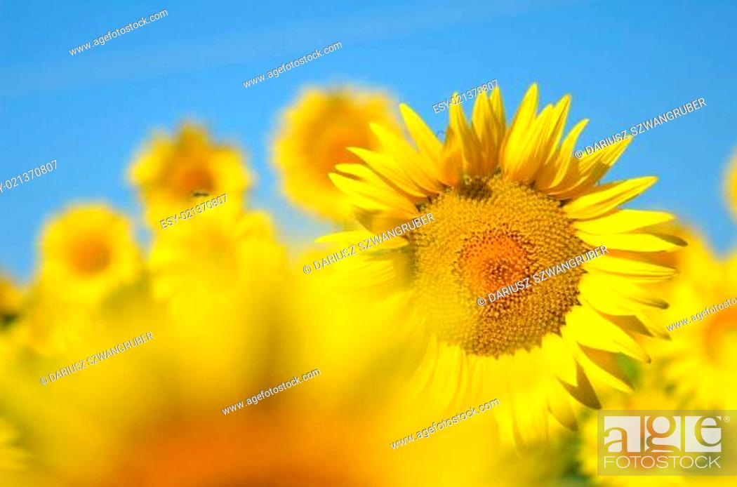 Stock Photo: Beautiful sunflowers of Tuscany in Italy against blue sky.