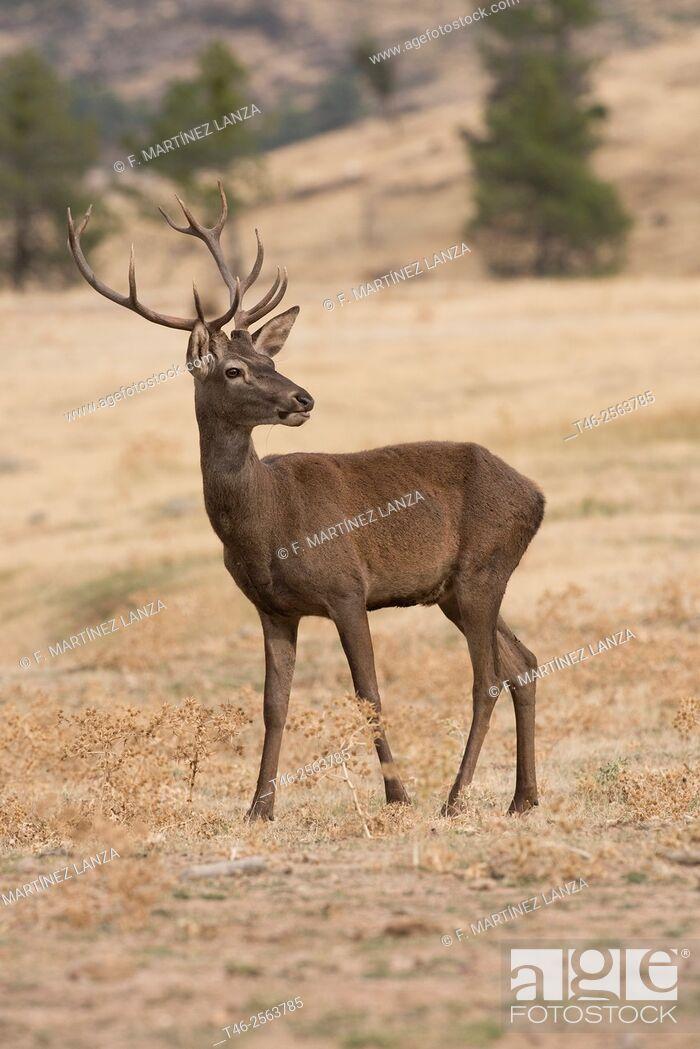 Stock Photo: Red deer (Cervus elaphus). Sierra de Guadarrama. Madrrid Province. Spain.