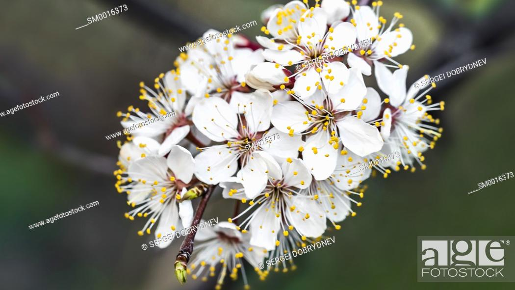 Stock Photo: Cherry tree branch with blossoming flowers - close up.