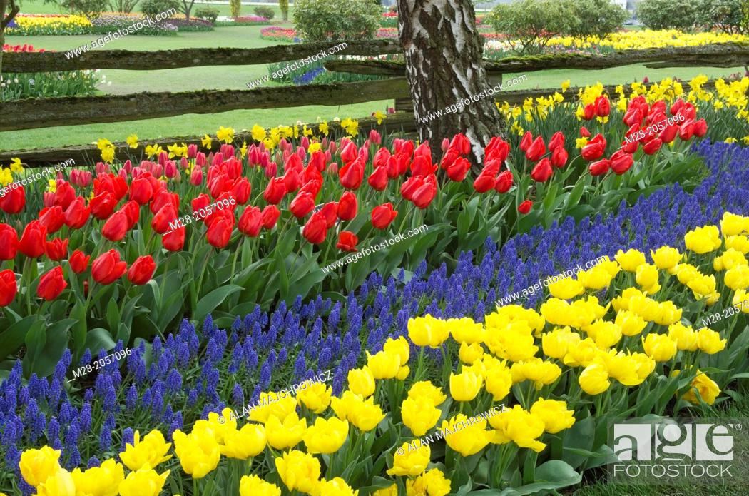 Tulips in Roozengaarde Display Gardens, Skagit Valley Washington ...