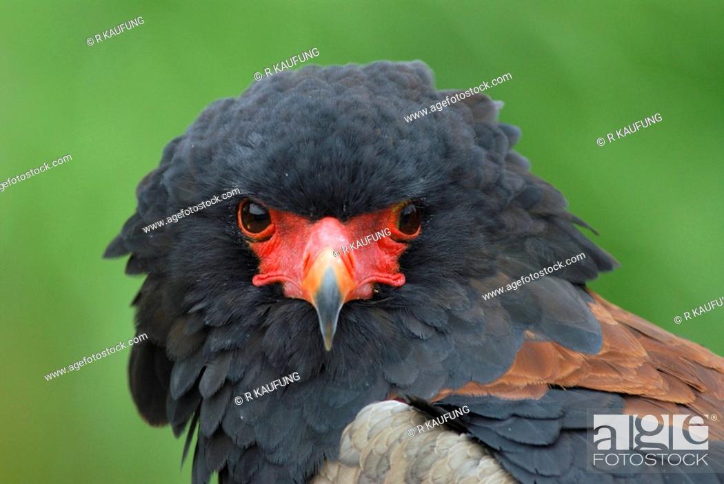 Stock Photo: bateleurbateleur eagle Terathopius ecaudatus, male.