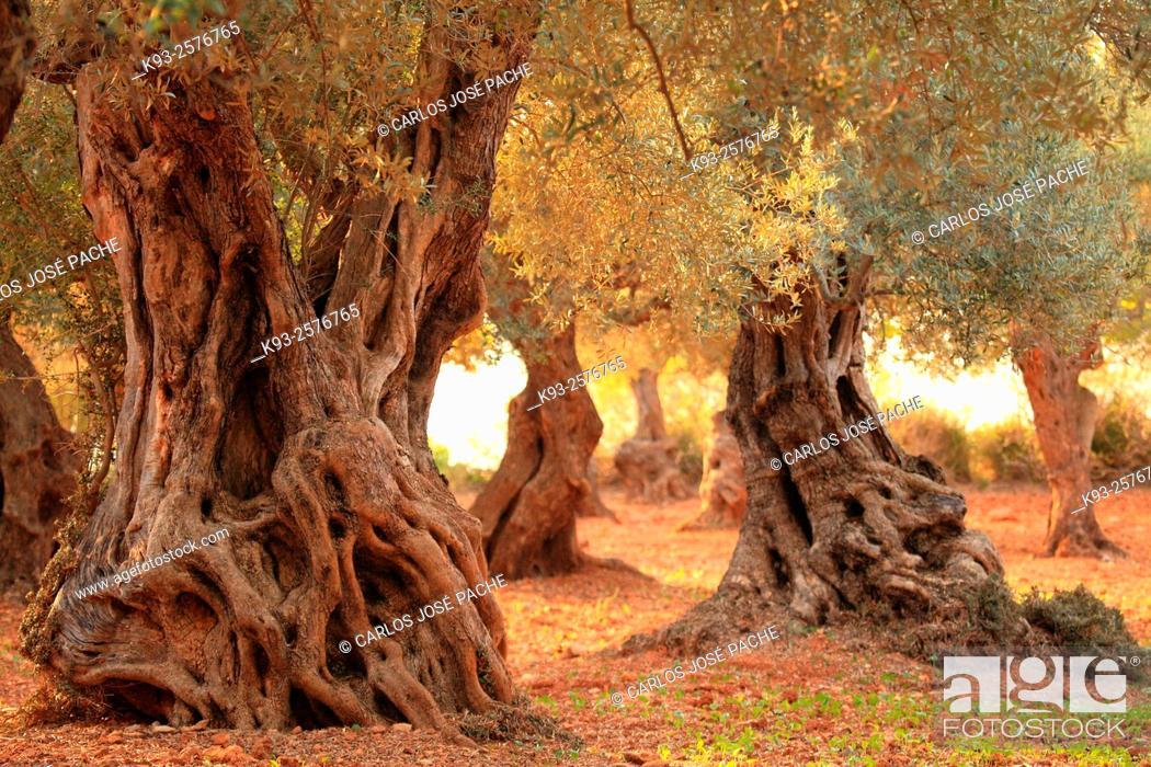Stock Photo: Hundreds-years-old Olive Trees. Mallorca, Balearic Islands, Spain.