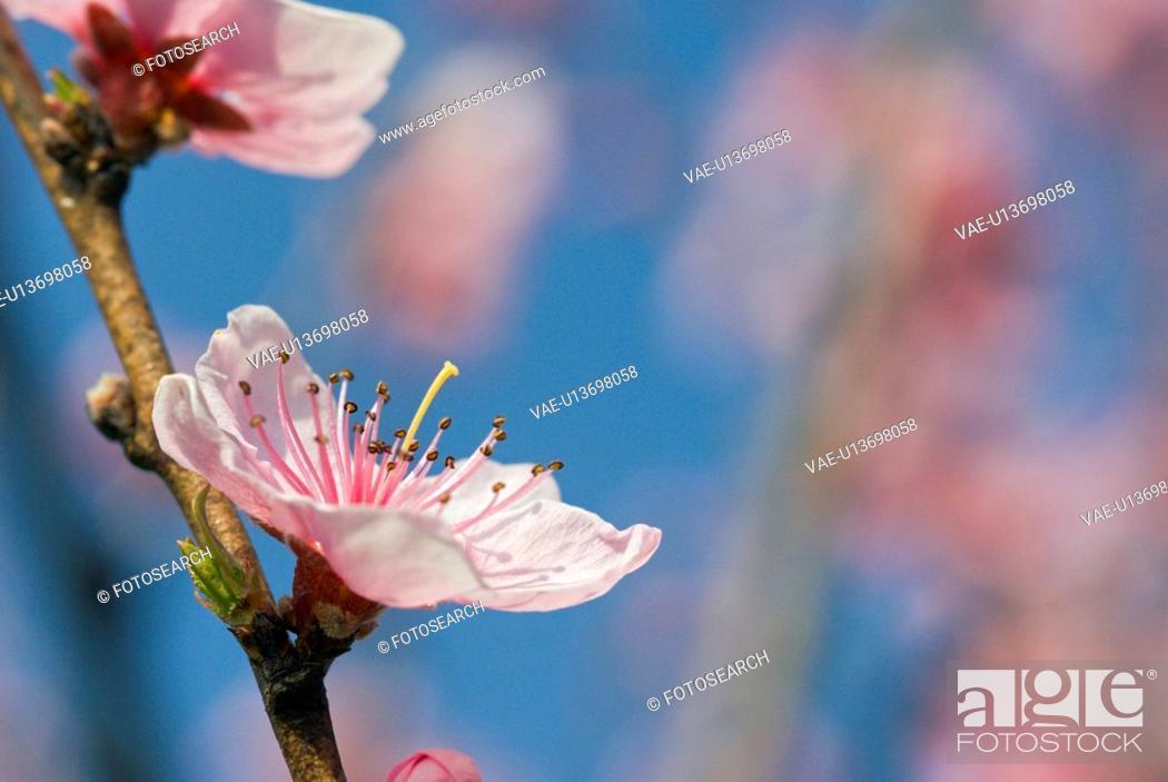 Stock Photo: branch, tree, spring, buds, peach tree, pure, pink.