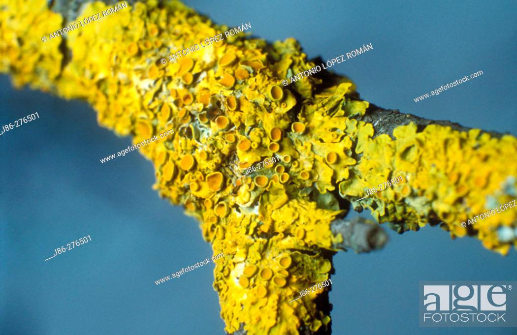 Stock Photo: Lichen (Xanthoria parietina) on trunk.