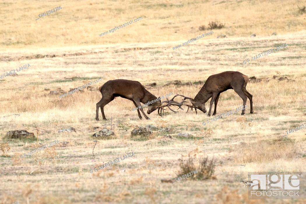 Imagen: Red deers (Cervus elaphus). Sierra de Guadarrama. Madrrid Province. Spain.
