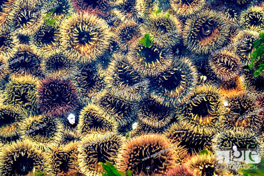 Imagen: Colorful Sea Urchins on Shark Island, Luderitz , Namibia.