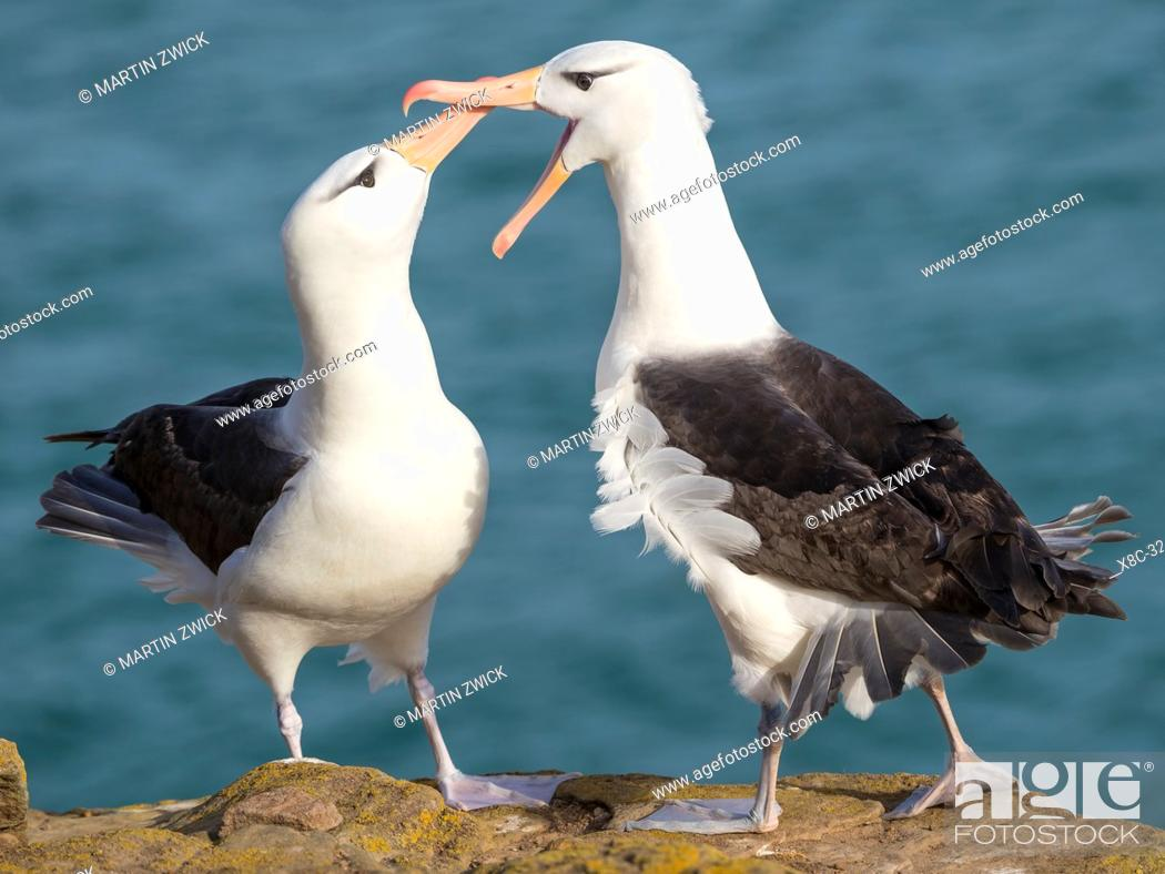 Stock Photo: Black-browed albatross or black-browed mollymawk (Thalassarche melanophris), typical courtship and greeting behaviour. South America, Falkland Islands, January.
