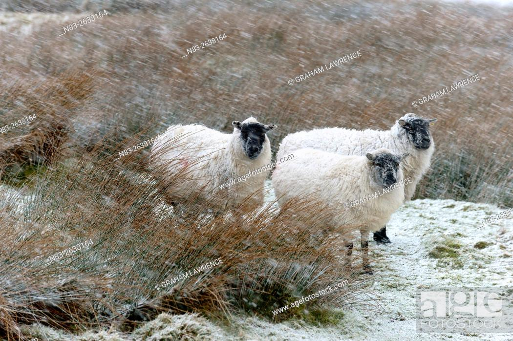 Stock Photo: Sheep in a wintry landscape on the Mynydd Epynt moorland, Powys, Wales, UK.