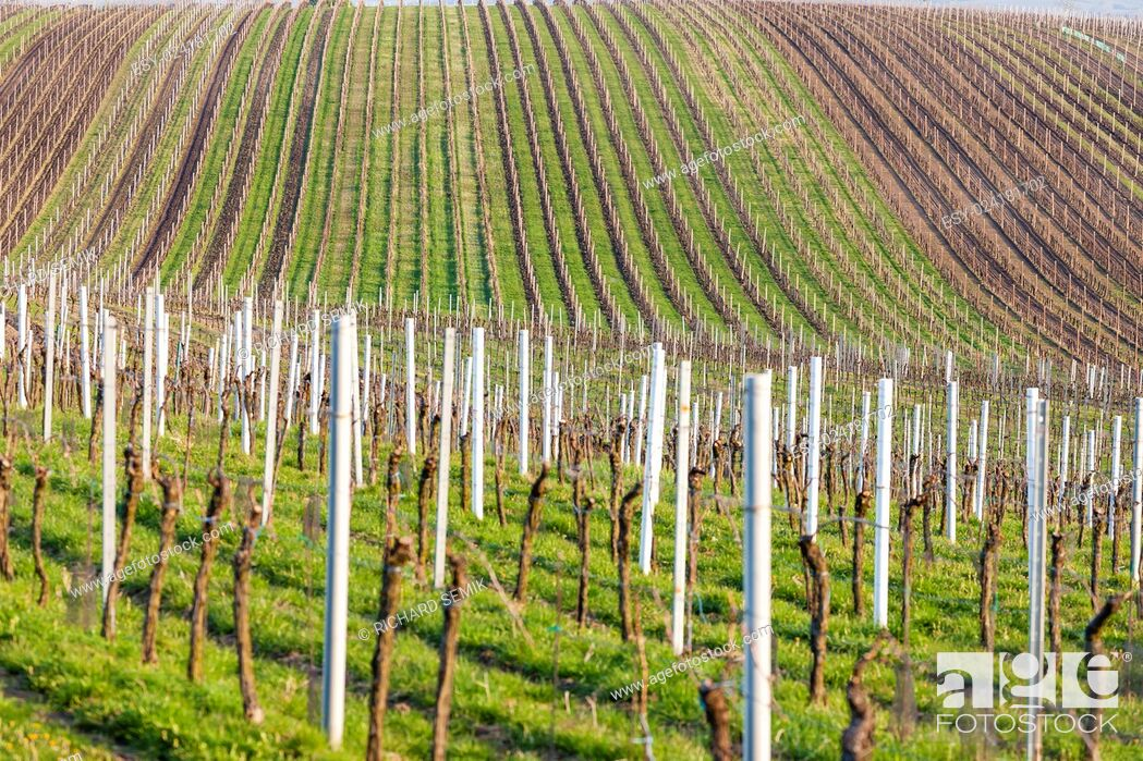 Stock Photo: view of spring vineyard near Velke Bilovice, Czech Republic.