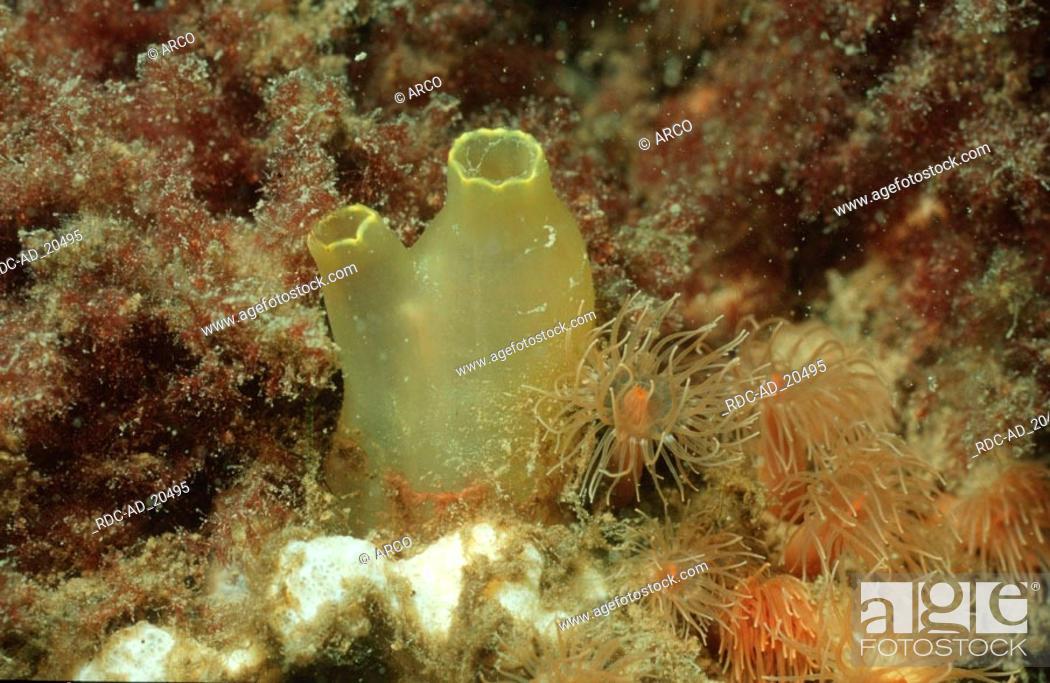 Sea Vase North Sea Ciona Intestinalis Stock Photo Picture And