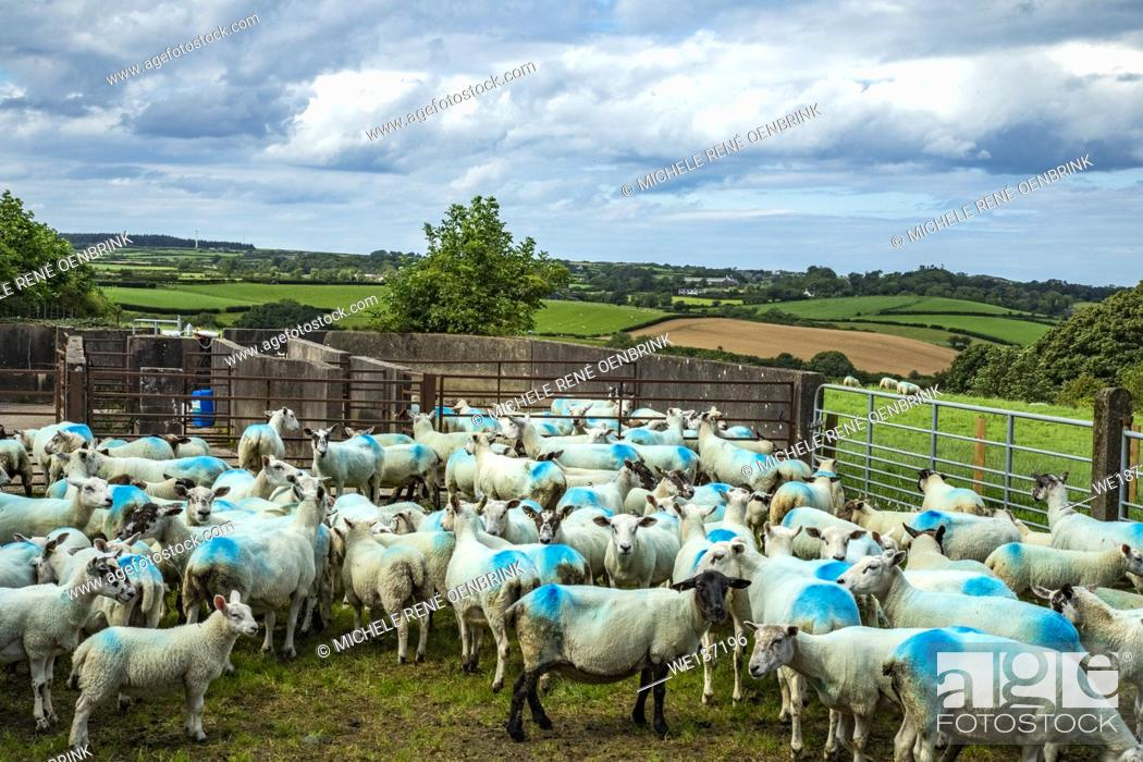 Stock Photo: Sheep farmed for wool in Northern Ireland.