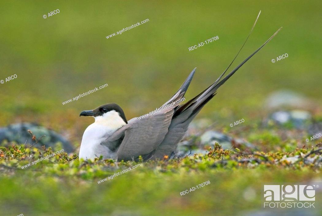 Stock Photo: Long-tailed Skua on nest, Varanger peninsula, Norway, Stercorarius longicaudus.