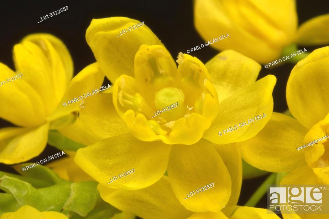 Imagen: Mahonia aquifolium.