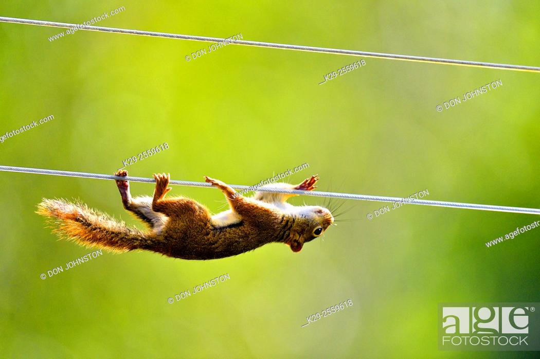 Stock Photo: Red squirrel (Tamiasciurus hudsonicus) climbing along clothesline to bird feeder , Greater Sudbury, Ontario, Canada.