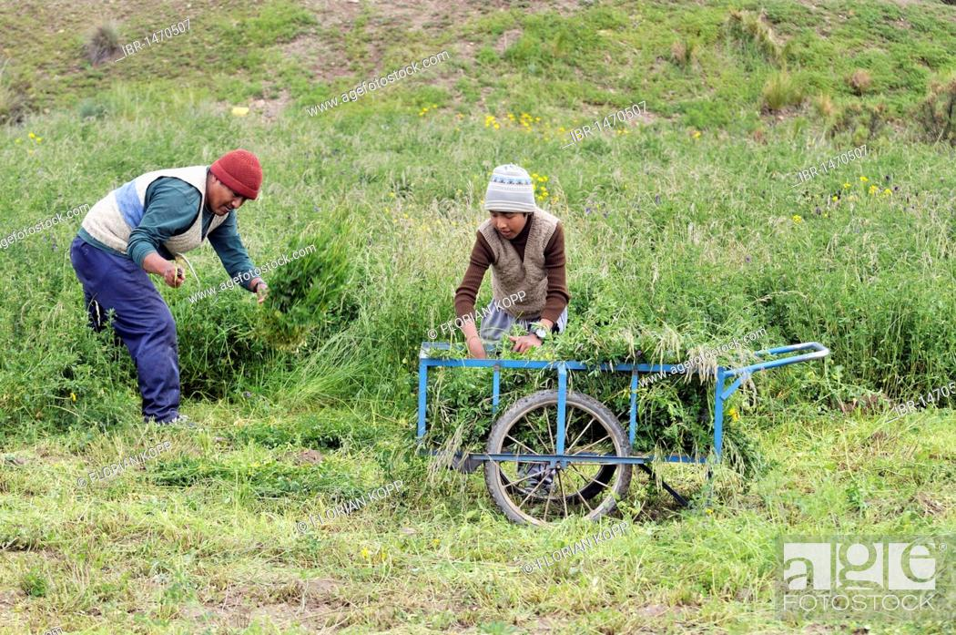Imagen: Harvest of alfalfa (Medicago sativa), forage crop, father and son, Altiplano Bolivian highland, Oruro Department, Bolivia, South America.