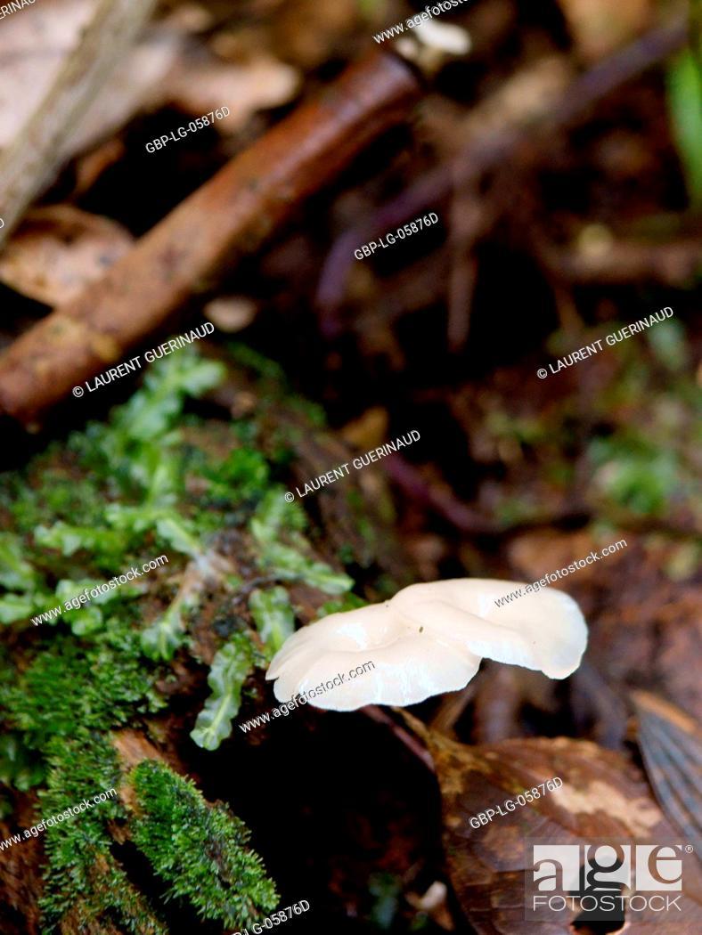 Stock Photo: Mushrooms, Serra do Mar State park, Núcleo Santa Virgínia, São Paulo, Brazil.