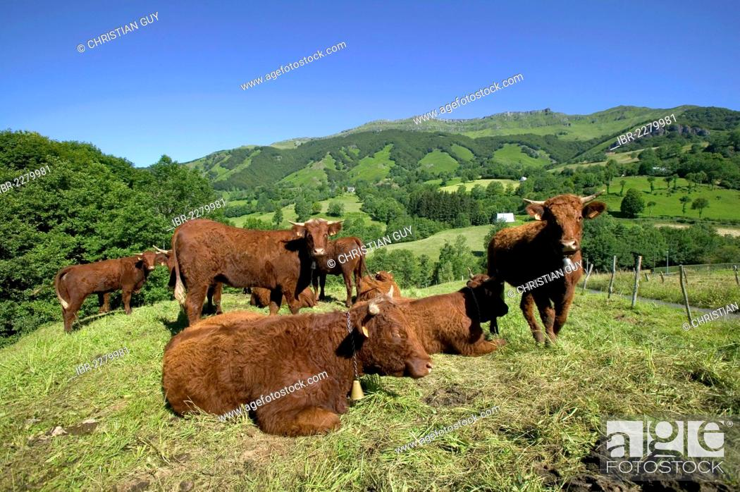 Stock Photo: Salers cattle, Mandailles Valley, Parc Naturel Regional des Volcans d'Auvergne, Auvergne Volcanoes Regional Nature Park, Cantal, France, Europe.
