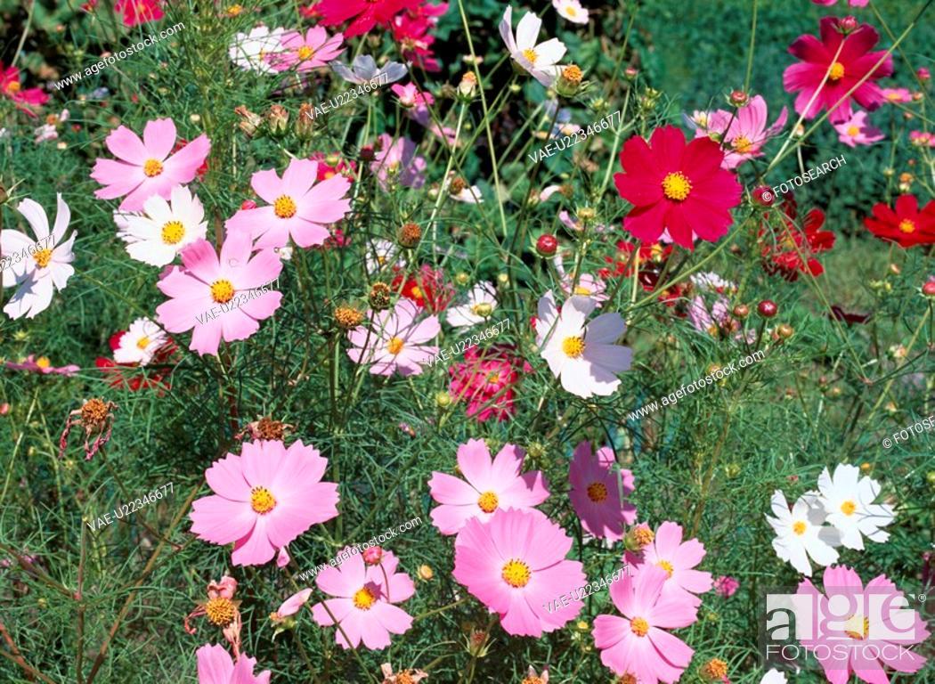 Stock Photo: Flowering Cosmos.