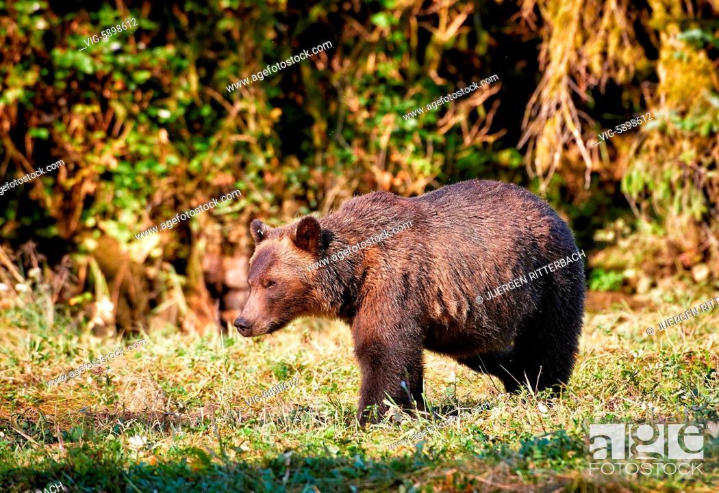 Stock Photo: Grizzly bear, Ursus arctos horribilis, Great Bear Rainforest, Knight Inlet, Johnstone Strait, Broughton Archipelago, British Columbia, Canada - Knight Inlet.