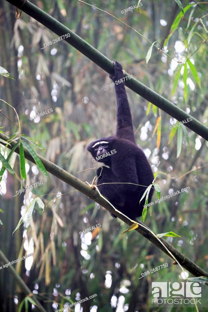 Stock Photo: South east Asia, India,Tripura state,Gumti wildlife sanctuary,Western hoolock gibbon (Hoolock hoolock),adult male.