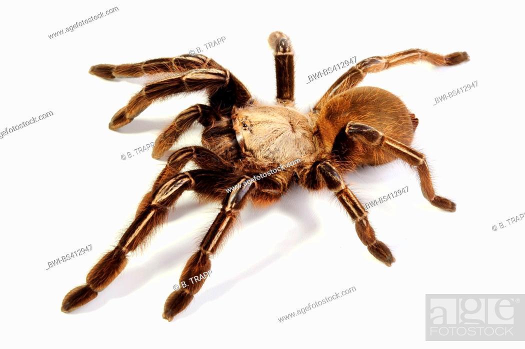 Stock Photo: Skeleton tarantula (Ephebopus murinus), cut-out.