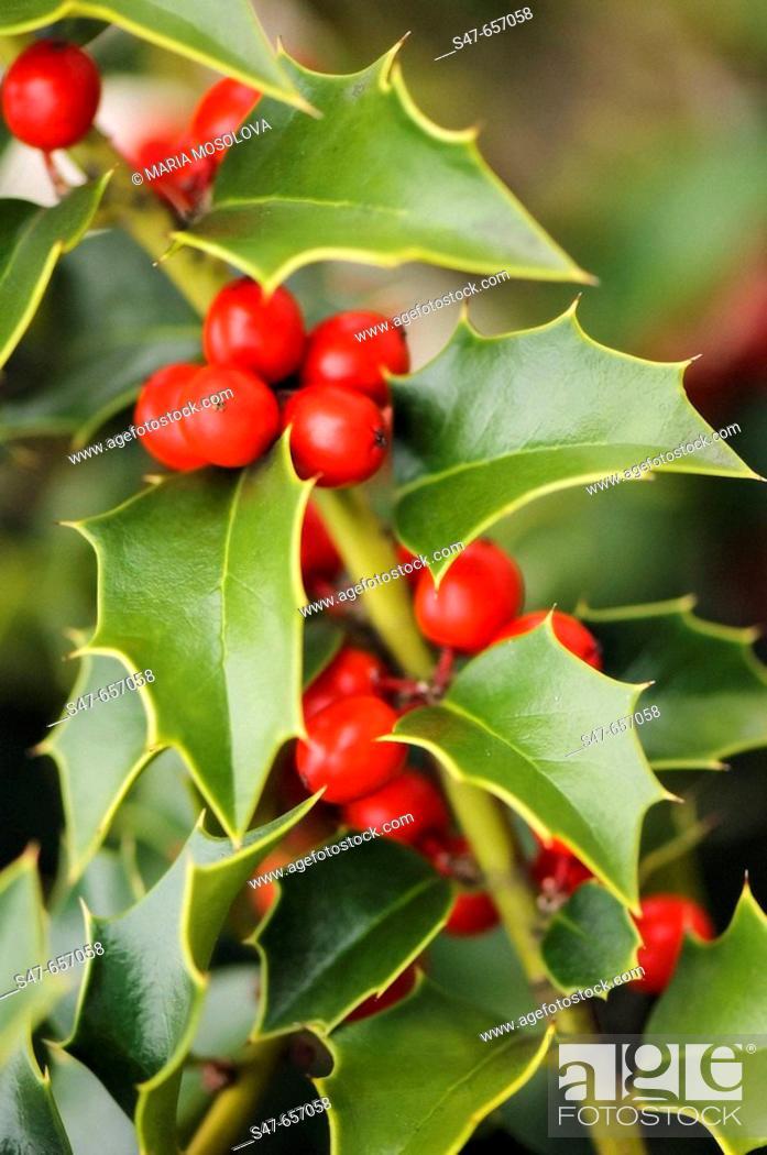 Photo de stock: Berries and Leaves of Holly Tree. Ilex aquifolium. November 2006. Maryland, USA.