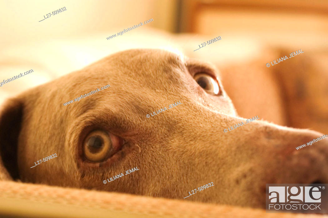 Stock Photo: Weimaraner dog looking.