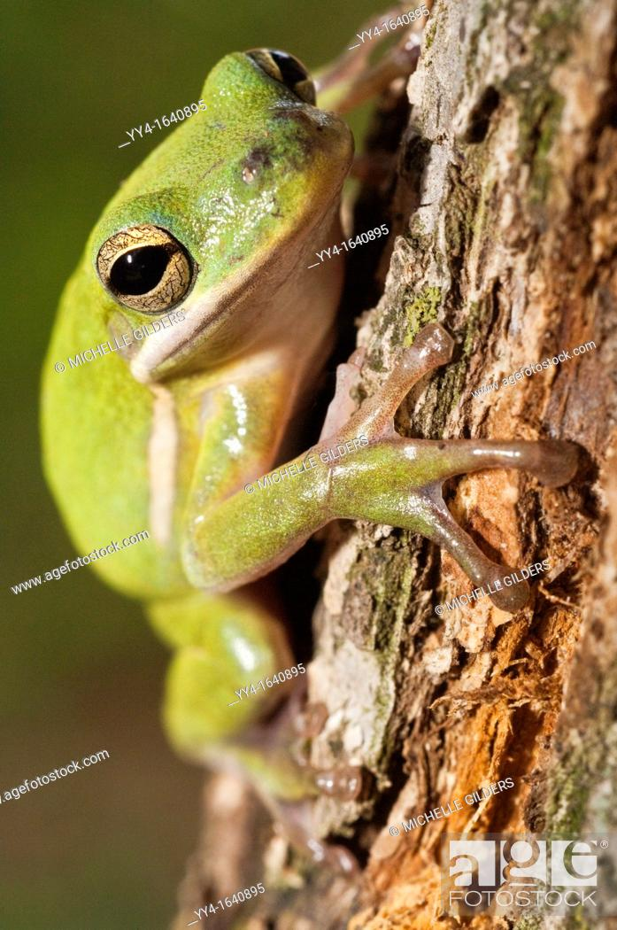 Stock Photo: The green tree frog, Hyla cinerea, is a common species in the southern and southeastern United States.