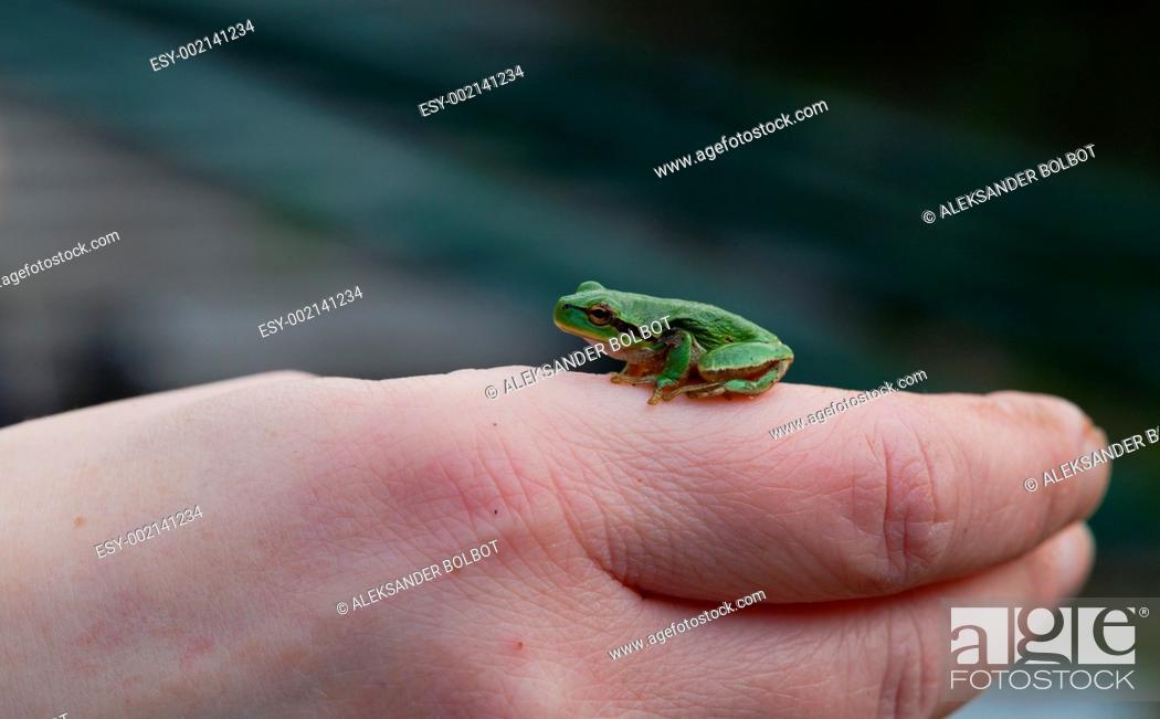 Stock Photo: Tree frog Hyla arborea sitting.