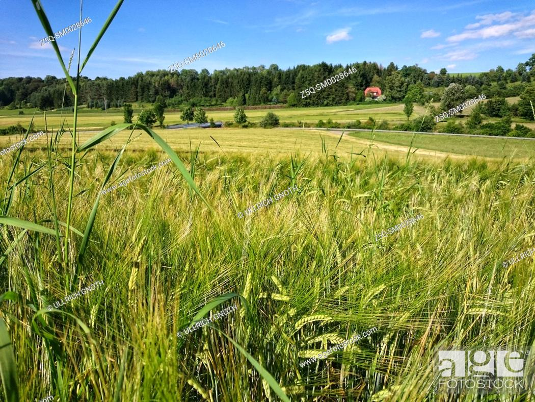 Stock Photo: Ripening grainfield in summer.