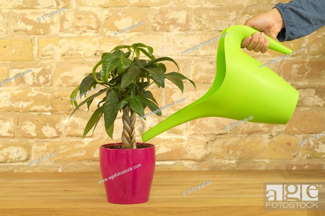 Stock Photo: Indoor plant is being watered.