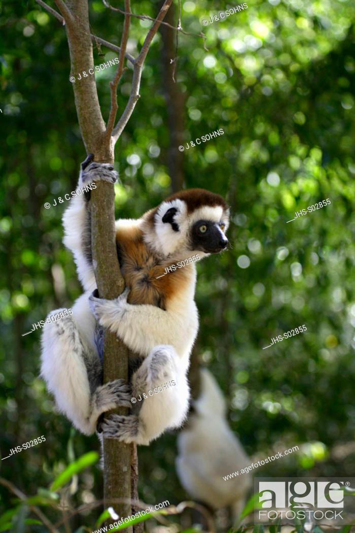 Stock Photo: Verreaux`s Sifaka, Propithecus verreauxi coronatus, Berenty Game Reserve, Madagascar, adult on tree.