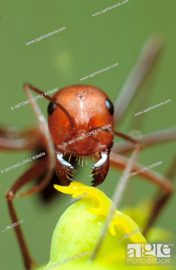 Stock Photo: Ant (Cataglyphis velox) feeding on Euforbia.