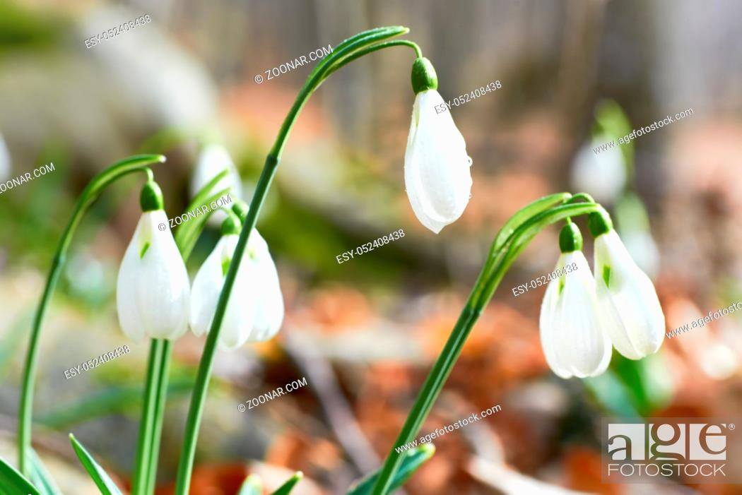 Stock Photo: Snowdrops first spring flowers in the forest.