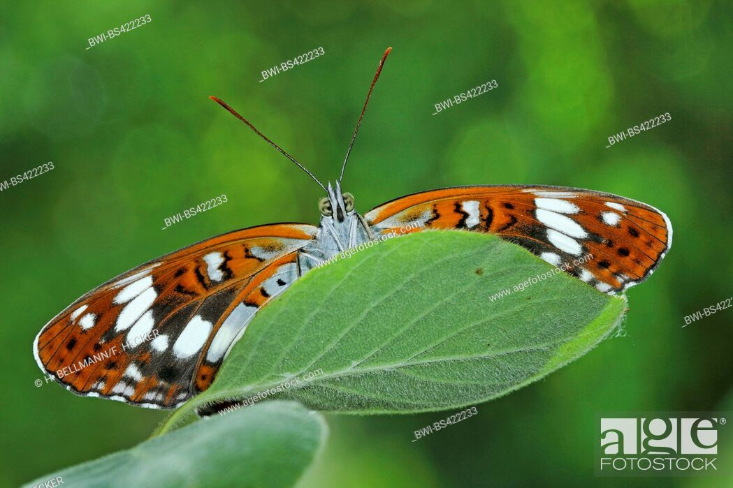 Imagen: Eurasian White Admiral, White Admiral (Ladoga camilla, Limenitis camilla), sitting on a leaf, view from below, Germany.