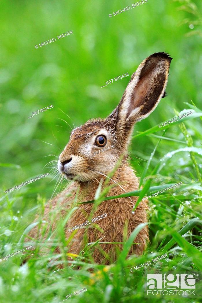 Stock Photo: European brown hare, Brown hare, Lepus europaeus, Germany.